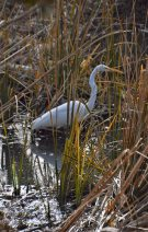 A Great Egret hides between the cattails, or at least what is left over from the cattails this Autumn.