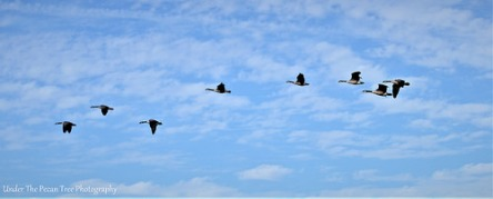 A flock of Canada Geese is ready to land on the lake.