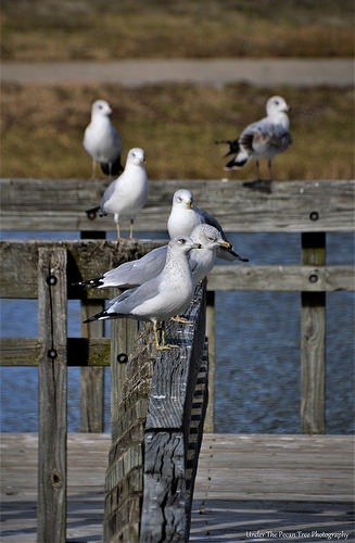 Ring-billed Gulls on the pier