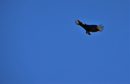 Kevin and Sara might get some help from a Black Vulture. ;)