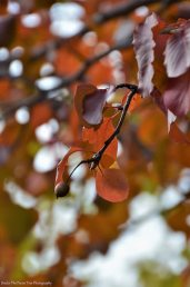 Autumn Bradford Pear I
