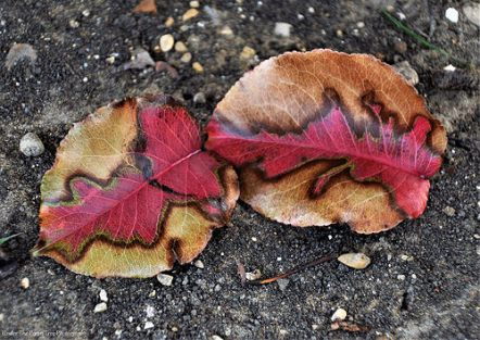 I found these Bradford Pear leaves with this real cool looking pattern, in my backyard.