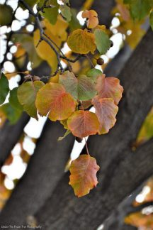 Autumn Bradford Pear II