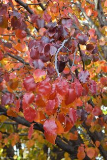 Autumn Bradford Pear III