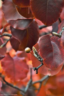 Autumn Bradford Pear IV