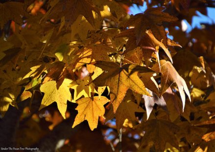 Sweet Gum Leaves I