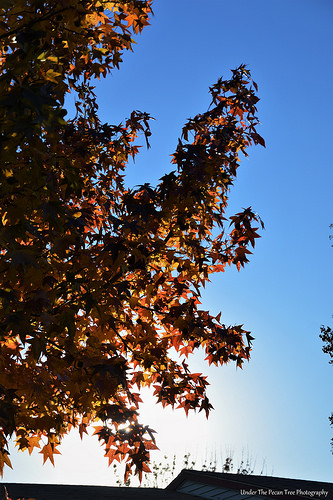 Sweet Gum Leaves in the Autumn Sun