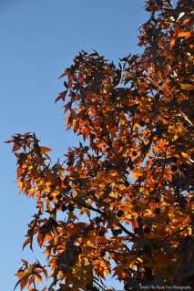 Sweet Gum Leaves II