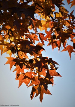 Sweet Gum Leaves III