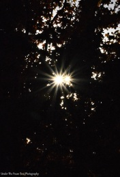 Our Star shines through the branches and leaves of a Sweet Gum tree.