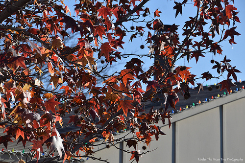 Autumn Sweet Gum Leaves I