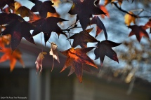 Autumn Sweet Gum Leaves II