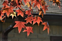 Autumn Sweet Gum Leaves III