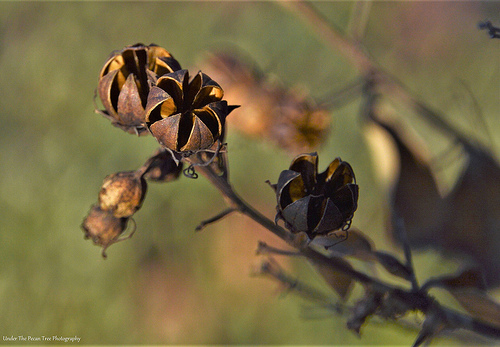 Crape Myrtle Seed Pods
