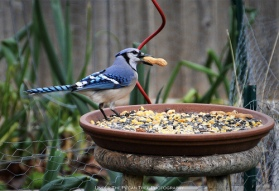 Our lil' Blue Jays love their peanuts in this cold weather.