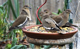 It's a very cold wind out there. And the White-winged Doves feel it.