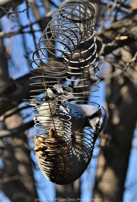 """Lady, I love that you put peanuts for us in the slinky. But it can be a challenge to get them back out!"" ... Ahm, isn't that the whole purpose of putting them in the slinky in the first place? Work for your food, bird!"
