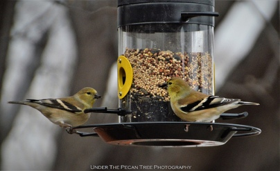 A n American Goldfinch couple is on the feeder.