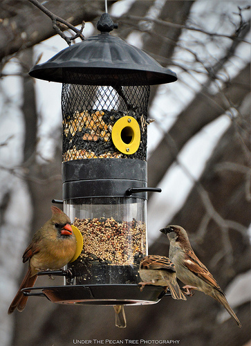 Mrs. Cardinal & the House Sparrows