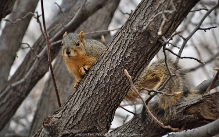 Texas Fox Squirrel