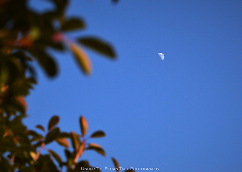 First Quarter Moon with Photinia