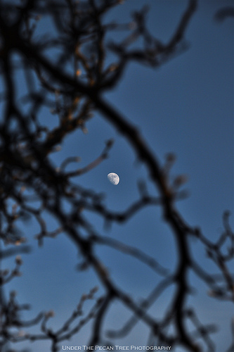 The Waxing Gibbous Moon through the Bradford tree branches