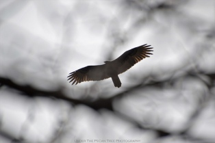 The Turkey Vulture was soaring over our trees and house. A tasty squirrel or bird snack had been nice.