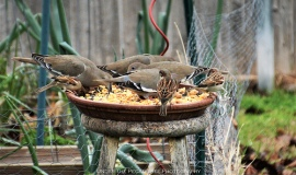The White-winged Doves and the House Sparrows share their late lunch together.