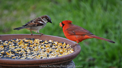"Sparrow: ""Tell your wife, I said Hello. And I'll see you at this feeder, tomorrow morning.""~ Cardinal: ""Will do. Yep, I'll bring the Mrs. with me in the morning."""