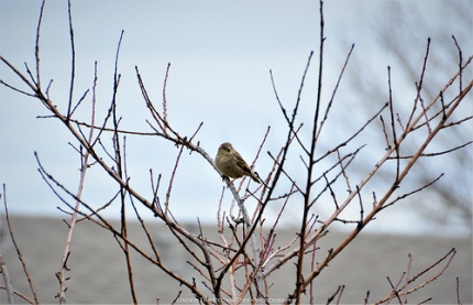 Female House Sparrow in our Peach Tree