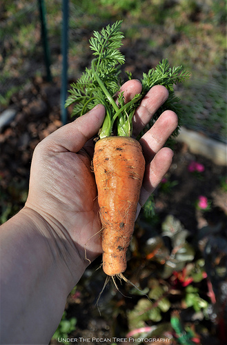 An over-wintered carrot from our garden