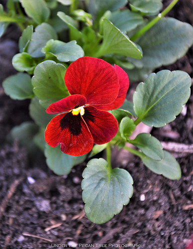 "Viola ""Penny Red Blotch"""
