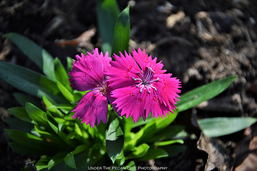 "Dianthus ""Zing Rose"" ~ Maiden Pink"