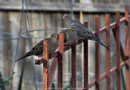 My loyal garden helpers ~ The Three Mourning Doves