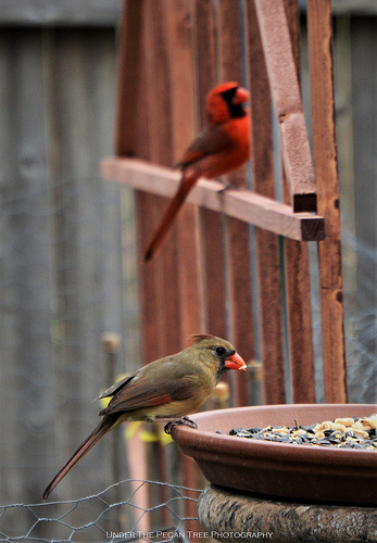Usually it is not easy to get a photo of Mr. & Mrs Cardinal together. Today I was lucky.