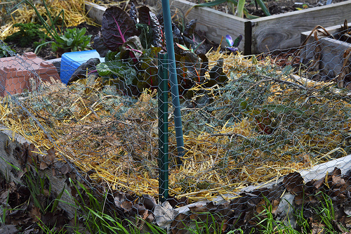 The Dianthus, Hyacinths and Violas are covered in straw and Fraser Fir for tonight's low temperatures.