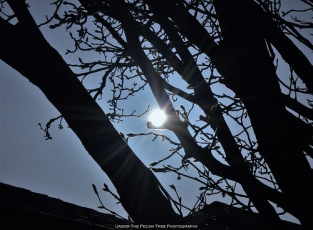 Sun through budding Bradford Pear tree branches