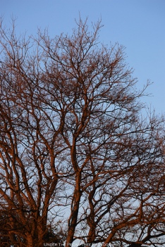 Winter Chinese Tallow tree at sunset