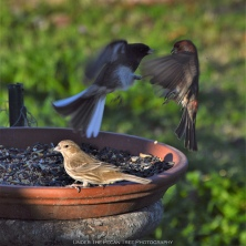 Mr. House-Finch and Mr. Junco: @#$&%!!!
