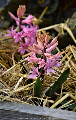 Our hyacinth are in bloom.