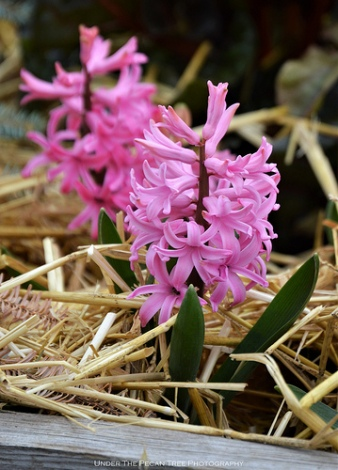 The hyacinths are in full bloom.