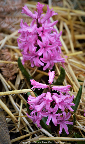Hyacinth/Straw Droplets