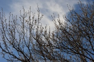 Budding Bradford Pear Tree & Spring Clouds