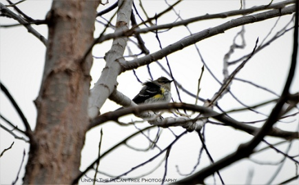 Wind blown Yellow-rumped Warbler