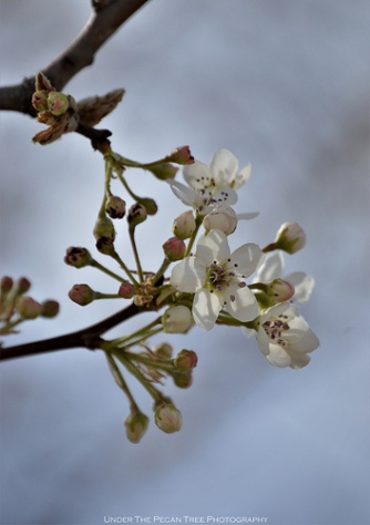 Beautiful Bradford Pear Blossoms