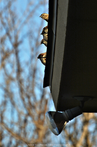 The House Sparrows made some ruckus on the roof and in the bushes, this evening.