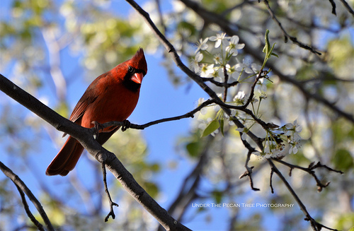 Mr. Cardinal listens to the You Tube channel, on my phone.