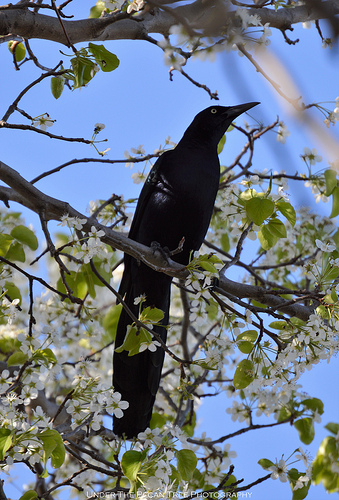 Mr. Great-tailed Grackle