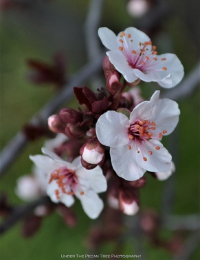 Purple Leaf Plum Blossoms (Prunus cerasifa 'Nigra')