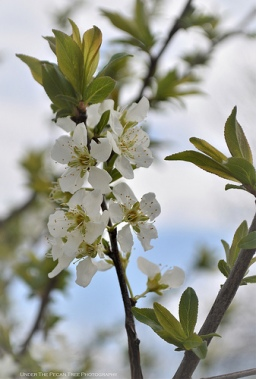 Mexican Plum Blossoms